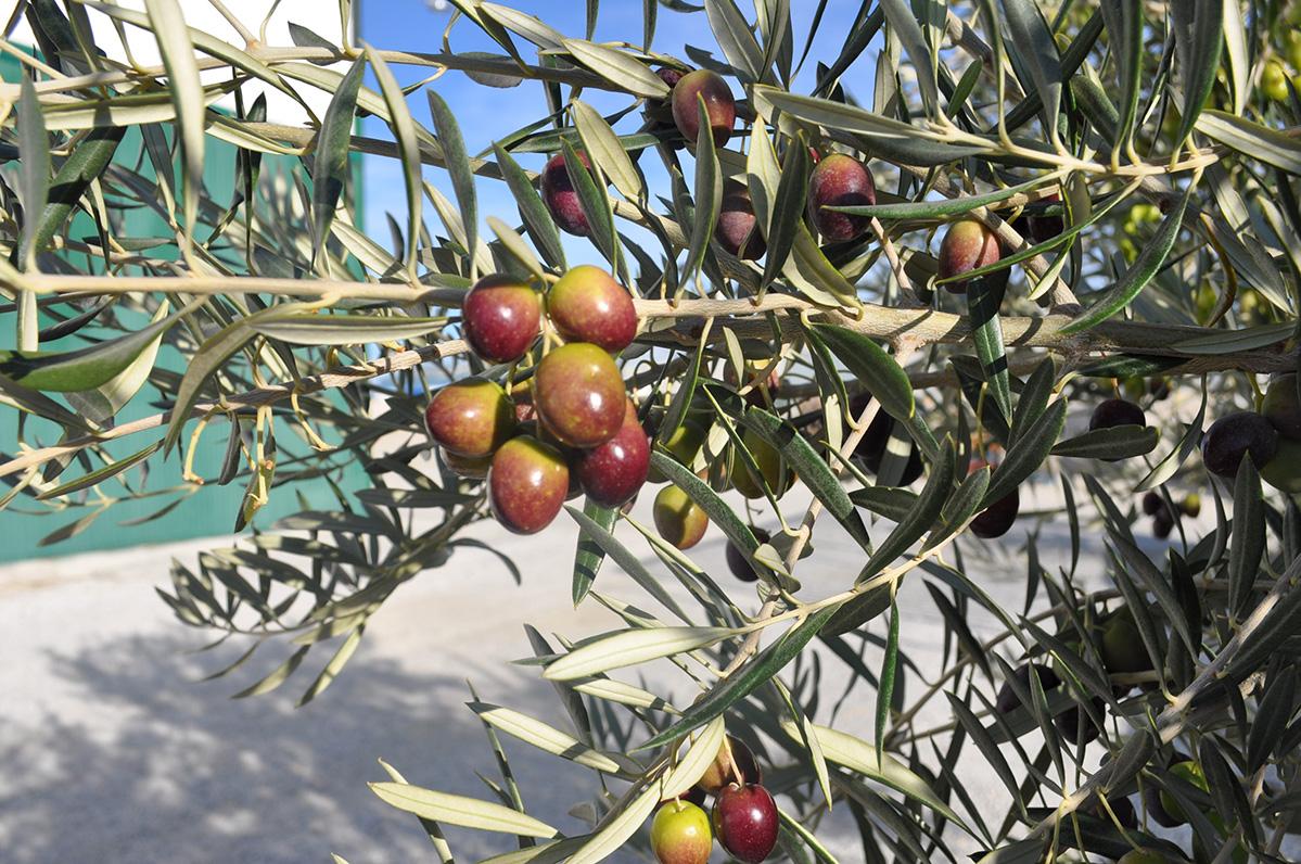 rama de aceitunas variedad picual